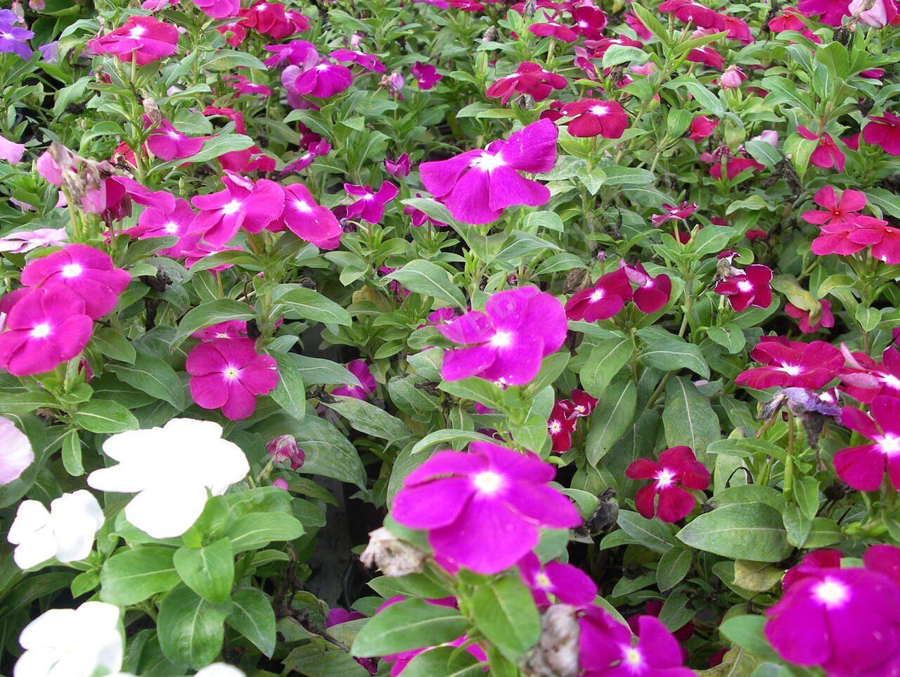 Катарантус выращивание из семян в домашних 73