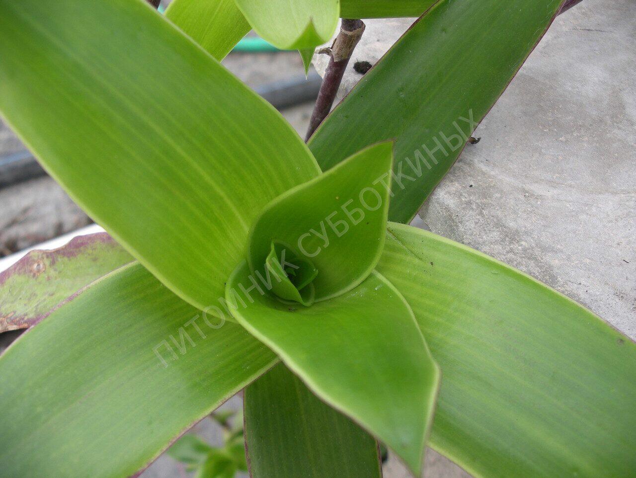 Домашний цветок золотой ус фото