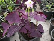 Оксалис (кислица), Oxalis  triangularis